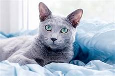 blue cats 5 things to about russian blue cats