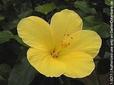 hibiscus zimmer hibiskus pflege schneiden 252 berwintern