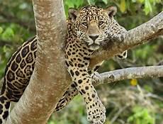 steve winter talks jaguars for national geographic s annual big cat week
