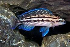 29 Jenis Ikan Cichlid Tanganyika Beserta Gambar Dan