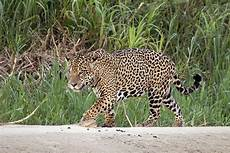 jaguar wikipedia