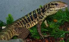small gold tegus for sale