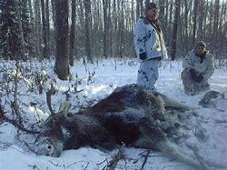 Сроки охоты на копытных 2019 ярославль