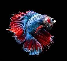 56 Gambar Ikan Cupang Wallpaper