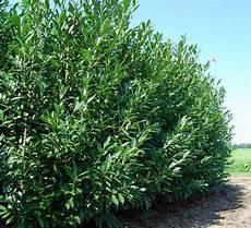 laurier haie pas cher laurier caucase 225 250 cm prunus caucasica vente en