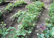 kartoffeln pflanzen im august kartoffelanbau reihenabstand august die zweiten kartoffeln