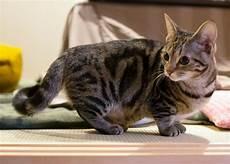 Munchkin Cat Breed Profile