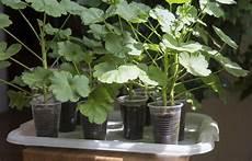 taking geranium plant cuttings tips on starting geraniums