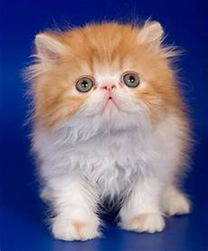the small cat breeds of the world