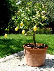 agrumes en pot cultiver des agrumes en pots pratique fr