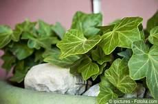 efeu zimmerpflanze pflege zimmerefeu zimmerpflanze pflegen d 252 ngen schneiden