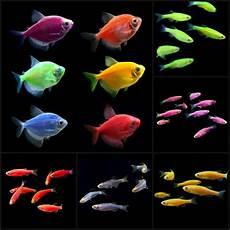 glofish and glofish tetra starter thatpetplace com glofish 174 pinterest aquarium