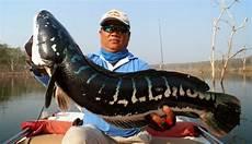 Gambar Ikan Betok Raksasa Gambar Ikan Hd