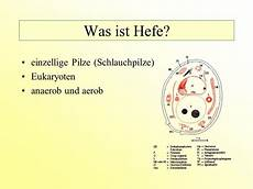 Was Ist Hefe - g 228 rung mit hefezellen ausgangshypothese was ist hefe