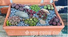 sukkulenten winterhart balkonkasten you grow planting a sempervivum trough