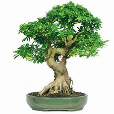 great for my ficus bonsai how to take care of ficus tree