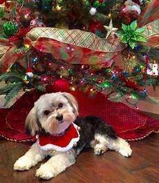 merry christmas merry christmas dog christmas dog morkie