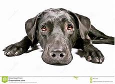 Schwarzer Hund Der Trauriges Iv Schaut Stockbild Bild