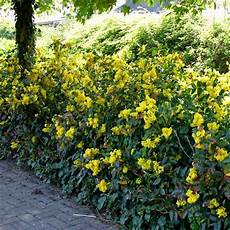 fiori profumati da giardino come coltivare siepi basse siepi siepi basse
