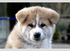 Akita Temperament ? das besondere Wesen der Hunderasse