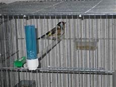 riproduzione cardellini in gabbia cardellini bartolotta settembre 2009
