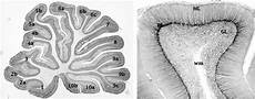 fig 2 lobules and cortical layers in the cerebellum a a sagittal download scientific