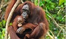 Orangutan Sumatera Yang Mau Kabur Dari Kebun