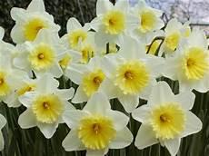 giardini in fiore foto pistacchio e nocciola narcisi in fiore