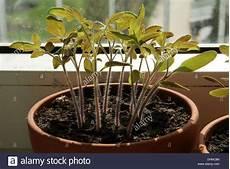 Tomaten Setzlinge Stockfoto Bild 62550901 Alamy