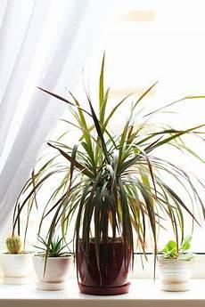 pflanzen dunkle räume zimmerpflanzen f 252 r dunkle r 228 ume drachenbaum dracena
