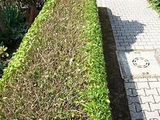 Wann Hecke Schneiden Thuja - gardening how to cut a hedge gardening works