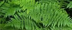 Penjelasan Mengenai Tumbuhan Paku Pteridophyta