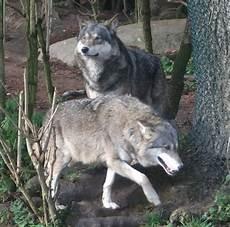 wolf münchen wolf tierpark hellabrunn der beutelwolf