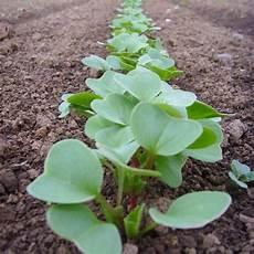 meine ernte rettich anbauen pflegen ernten und lagern