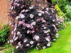 Holunder Black Lace - plants to week 6 oct 7 11