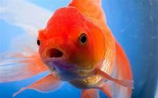 canadians warned against flushing goldfish lavatories