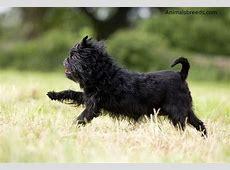 Affenpinscher   Puppies, Rescue, Pictures, Information