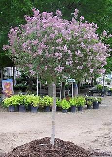 lilac tree koren lilac tree form knecht s nurseries