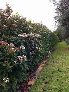 viburnum tinus winterhart viburnum tinus laurustinus hardy shrub for hedges