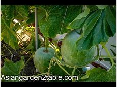 How to grow winter melon ????   YouTube