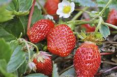 Gardening Strawberries by Let The Gardening Begin With Strawberries