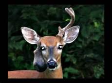 deer with bad antler youtube