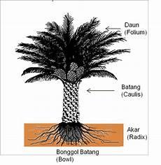 The Palm Planters Mophologi Kelapa Sawit
