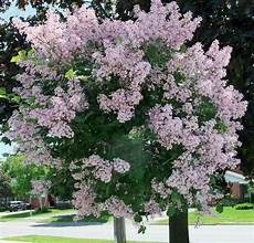 lilac tree amberlane amberpetites updates embroidering bridal hankies