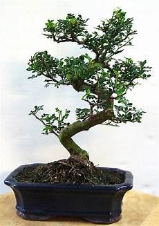 pfefferbaum carmens bonsai garten shop f 252 r bonsai