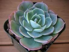 plante succulente entretien echeveria conseils comment planter et entretenir cette