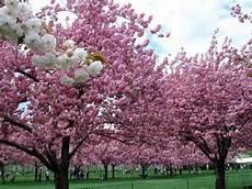 nomi fiori giapponesi alberi giapponesi alberi latifolie caratteristiche