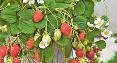 erdbeeren f 252 r eilige coopzeitung