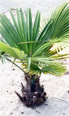 Palmen Für Den Garten - palmen f 252 r den garten winterharte arten und pflegetipps