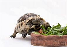 tortoise care sheets free to download from atlas aquatics
